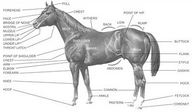 Parts of a Horse Diagram