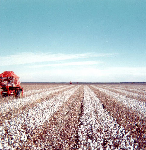 Cotton picking  in Warren 1967
